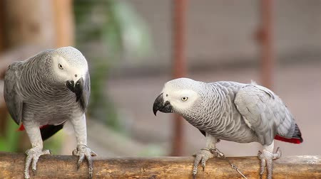 vadon élő állatok : Couple Gray African Parrot kissing and take care together