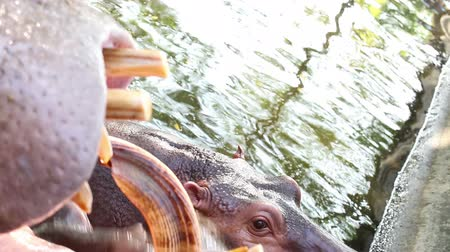 hippos : hippopotamus open mouth and yawn in pond Stock Footage