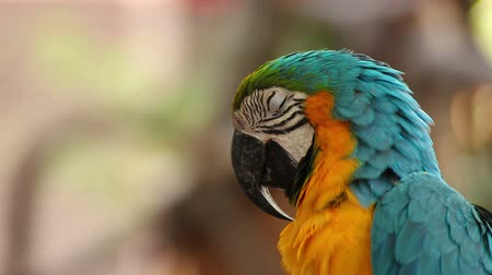 equador : parrot macaw blue and gold sleeping, closeup