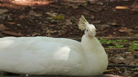 páření : Indian White Peafowl or peacock lay down