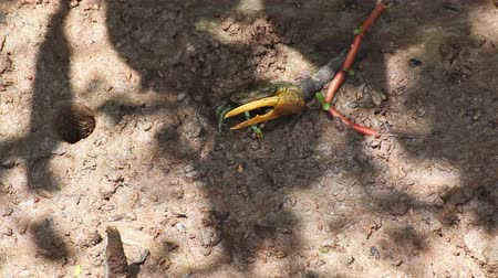 crab of the woods : Fiddler Crab in mangrove forest, taken on sunny day, high-angle shot of camera