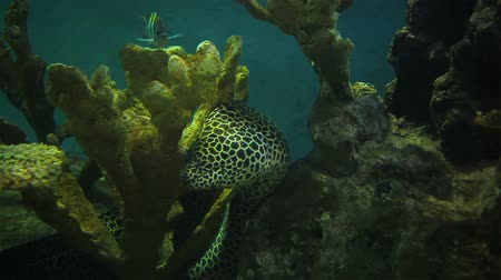 aqaba : Moray Eel, take breath gum and lean with coral in aquarium