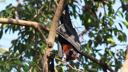 pteropus : Bat hanging on a tree branch Malayan bat or Lyles flying fox science names Pteropus lylei, low-angle of view shot