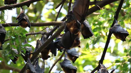 nietoperz : Bat hanging on a tree branch Malayan bat or Lyles flying fox science names Pteropus lylei, low-angle of view shot