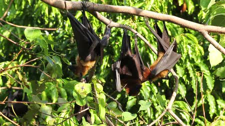 pteropus : Group of Bat hanging on a tree branch Malayan bat or Lyles flying fox science names Pteropus lylei, low-angle of view shot Stock Footage