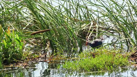 water conservation : Water bird, names Purple Swamphen walk in the pond Stock Footage