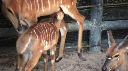 jelen : Deer, science names spotted deer or Axis deer mother take care and feeding her baby