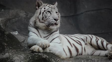 gato selvagem : White bengal tiger, lying, relax, and watching on cliff