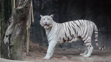 kaplan : White bengal tiger, bite bamboo, for teeth cleaning Stok Video