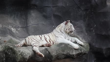 bengal cat : White bengal tiger, lying, relax, and watching on cliff