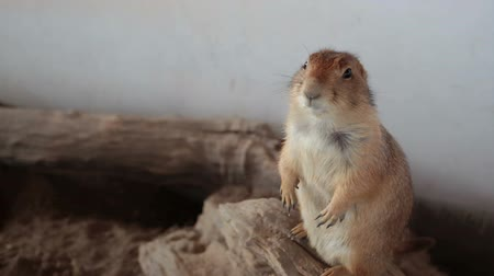 kemirgen : Prairie dog or Cynomys, stands closeup Stok Video