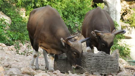 býci : couple Banteng or Red Bull, male standing and eat grass in the forest, closeup in HD