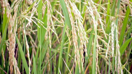 genişlik : Rice farm field in the wind background, width camera view shot in HD