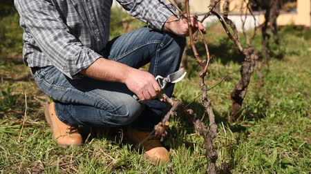 winogrona : Caucasian farmer working in the vineyard, pruning the vine with professional scissors. Traditional agriculture. Footage Wideo