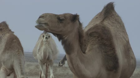 savci : Closeup of camel in a herd in Western Sahara, Morocco, chewing.