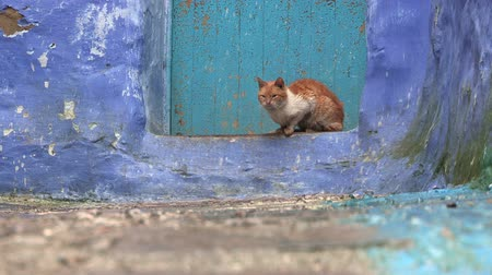 седые волосы : Street Cat In Chefchaouen, Morocco. Chefchaouen is a city in northwest Morocco famous for its blue buildings. Other views available. Стоковые видеозаписи