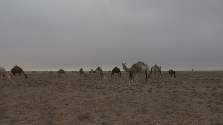 dunas : Manada de camellos en el Sahara Occidental, Marruecos. Otras vistas disponibles.
