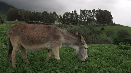 марокканский : Donkey on rainy hillside in Morocco, eating grass.