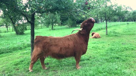 coo : scottish highland cow at apple tree