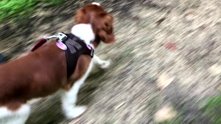cheirando : Welsh Springer Spaniel puppy on the leash