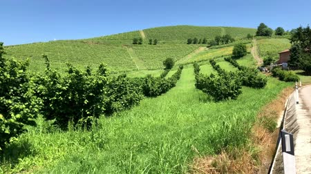 winemaking : Hazelnut and wine cultivation in Piedmont, Italy.