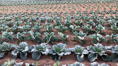 vegetariáni : Red cabbage on the field
