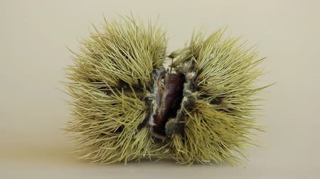 specialties : the chestnut husk. maturing from green to dark brown and contains a chestnut