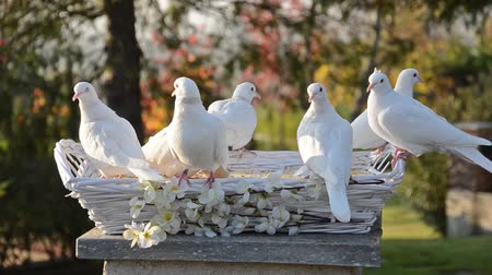 dove of peace : white doves Stock Footage