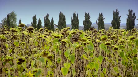 florencja : sunflowers in tuscany