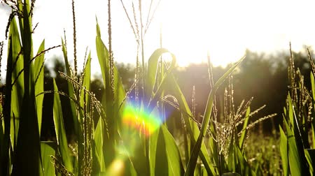 кукуруза : corn fields, backlight