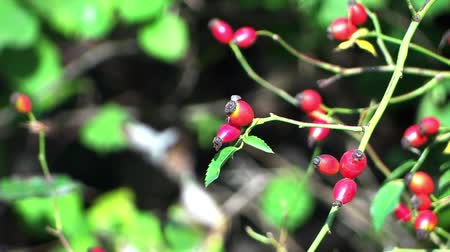 sorbus : In the forest. Berries close up. Stock Footage