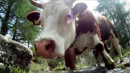 скот : a funny cow, extreme close up Стоковые видеозаписи