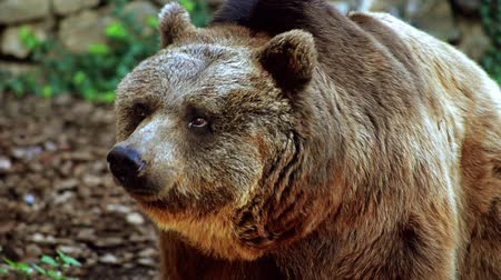 опасность : brown bear portrait