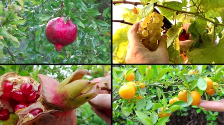 zöldségek : collage including hands harvesting diverse fruits