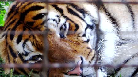 vida selvagem : sad tiger in a zoo close up