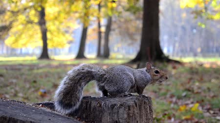 sciuridae : feeding squirrels in a park Stock Footage