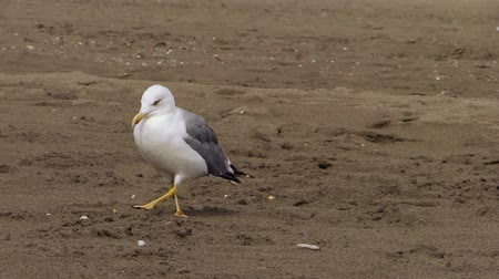 kittiwake : sea gull at the beach