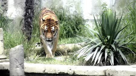 kaplan : Walking big cat. A tiger in the Maharajahs garden.  Stok Video