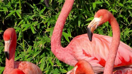 primordial : pink american flamingos colony Stock Footage