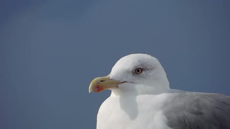kittiwake : sea gull portrait close up over a blue sky