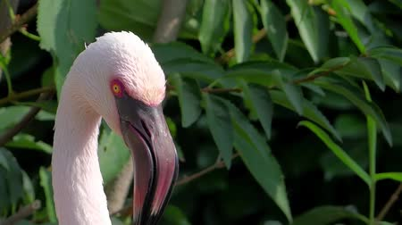 primordial : flamingo portrait close up