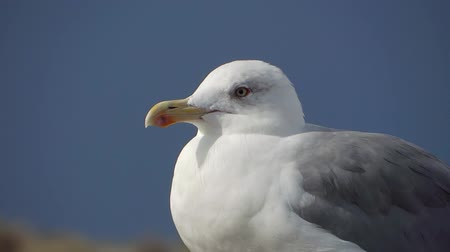 kittiwake : beautiful gull at the beach over a blue sky Stock Footage