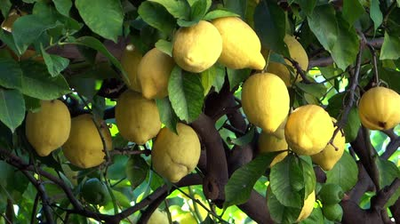 cytryna : lemon tree close up in summertime Wideo