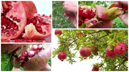 roma : montage including pomegranates close ups, pomegranate trees and fruit harvesting