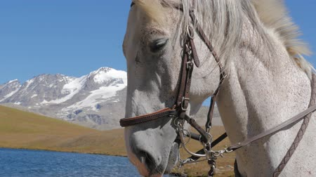 bas : white horse close up in alpine landscape