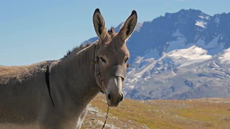 francja : alpine panorama with mule in a sunny day