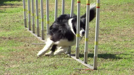 тренировка : dog in action in agility competition slow motion Стоковые видеозаписи