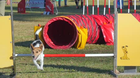 yarışmalar : dog in action in agility competition slow motion Stok Video
