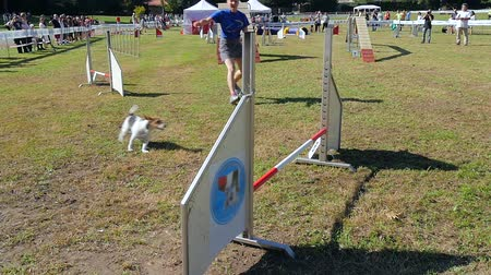 slalom : dog in action in agility competition slow motion Stock Footage