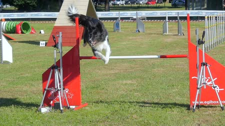 yarışma : dog in action in agility competition slow motion Stok Video